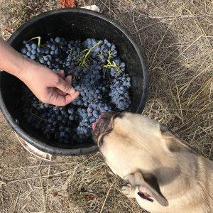Poppy with grape bucket